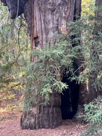 Exploring Jack London State Historic Park ancient redwood tree