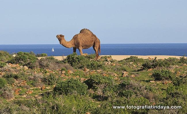 camello majorero