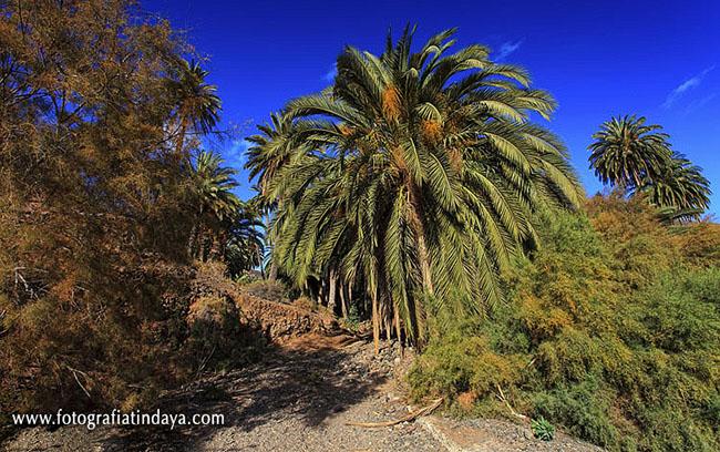 La Palmera Canaria (Phoenix Canariensis)