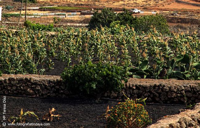 El Arenado o Enarenado en Fuerteventura