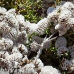 Siempreviva zig-zag (Limonium papillatum)