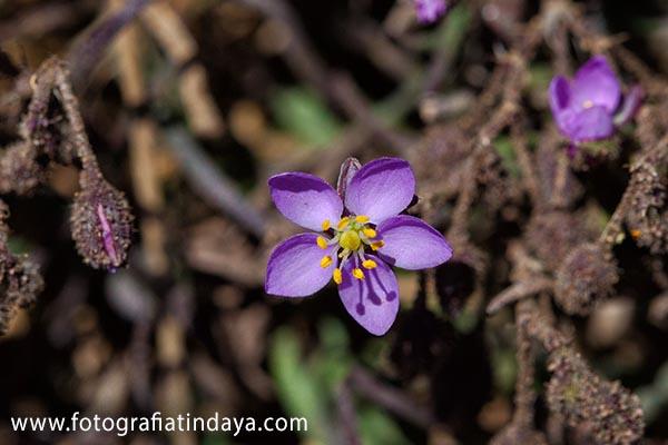 Romerillo pardo (Spergularia fimbriata) 001