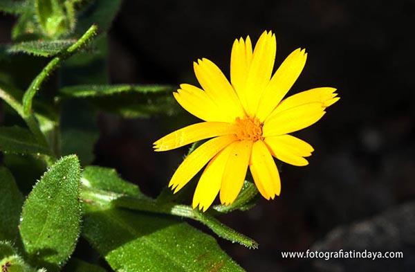 alpaor (calendula aegyptiaca) - 004