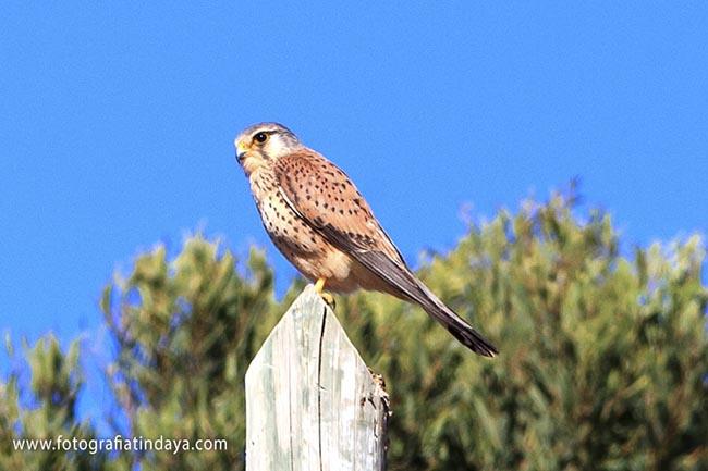 Cernícalo Vulgar (Falco tinnunculus dacotiae)