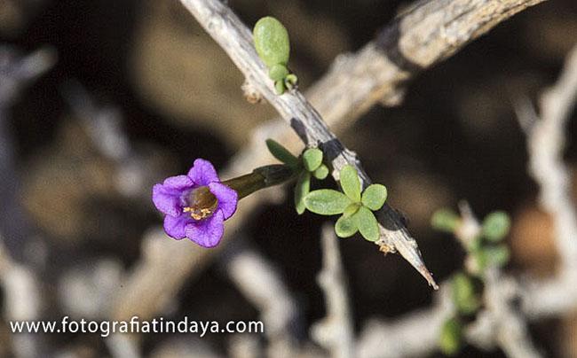 Espino Marino (Lycium intricatum)