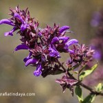 Salvia Canaria