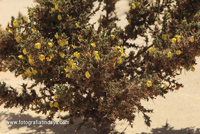 Garbancillo (Ononis natrix hesperia)
