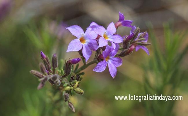 Romero Marino (Campylanthus Salsoloides)