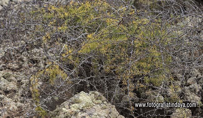 esparraguera majorera (Asparagus nesiotes ssp.purpuriensis), en el Monumento natural de Montaña La Arena