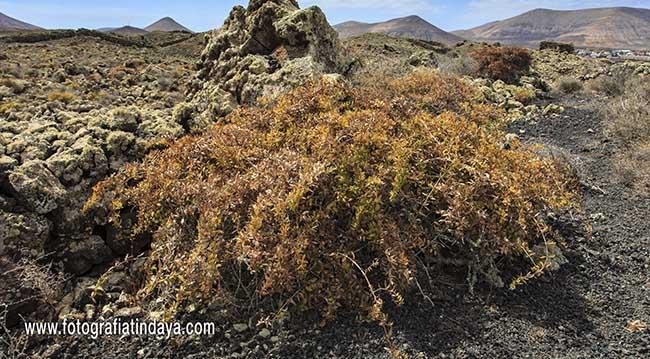 Tasaigo – Rubia fruticosa, en el Malpaís de La Arera