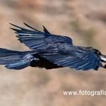 El cuervo de Canarias
