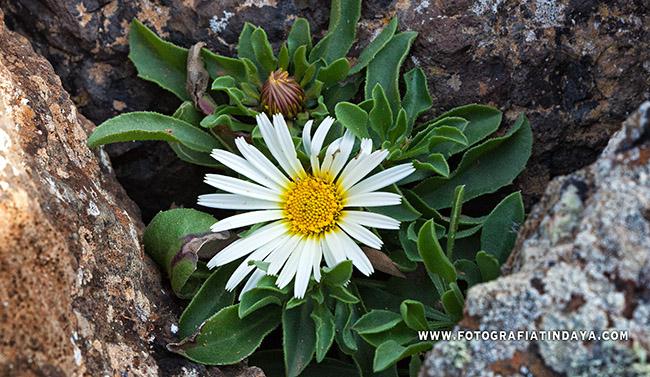 TOJIA BLANCA (Asteriscus schultzii)