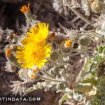 LA ESTORNUDERA (Andryala glandulosa)
