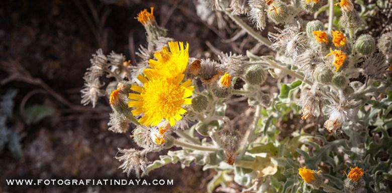 ESTORNUDERA - Andryala glandulosa
