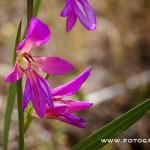 GLADIOLO SILVESTRE ( Gladiolus Italicus Miller ) 2