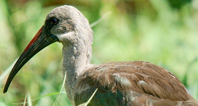 Ibis Hadada (Bostrychia hagedash)