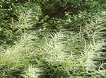 Aruncua dioicus