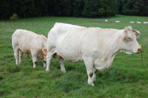 vaches-viandeuse belgique