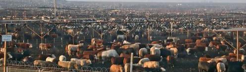 vaches-viandeuses USA