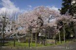盛岡石割桜
