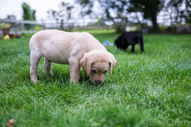 Labrador puppies-18