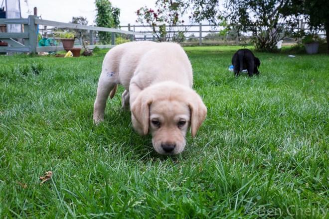 Labrador puppies-20