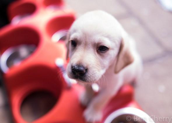 Labrador puppies-7