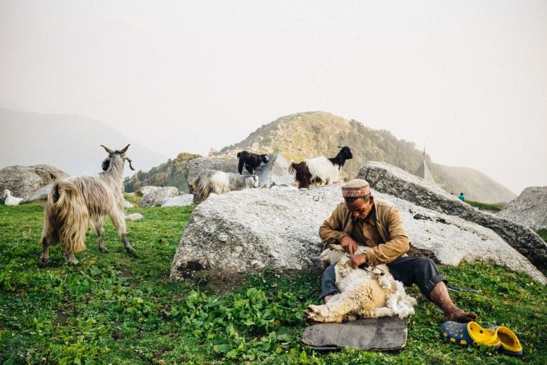 A herder shearing his animals