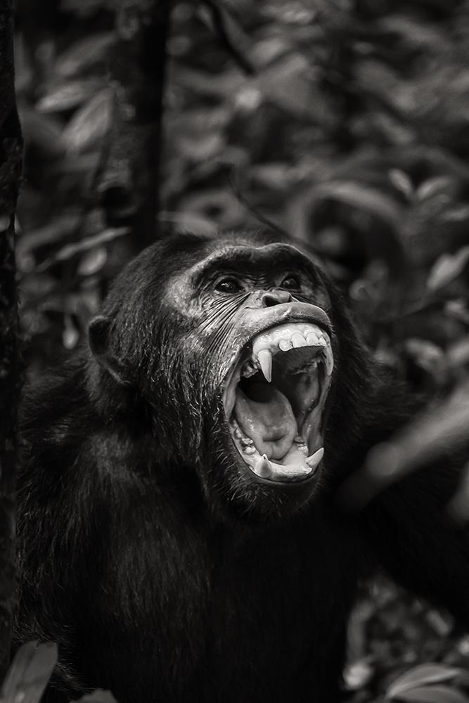 chimpanzee-wild-rainforest-5