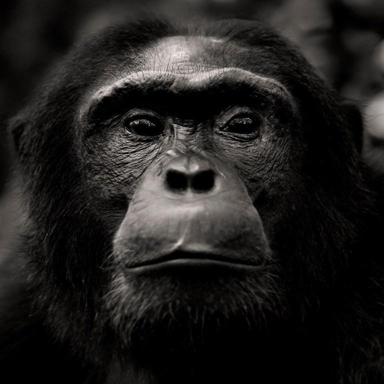 chimpanzee-wild-rainforest-7