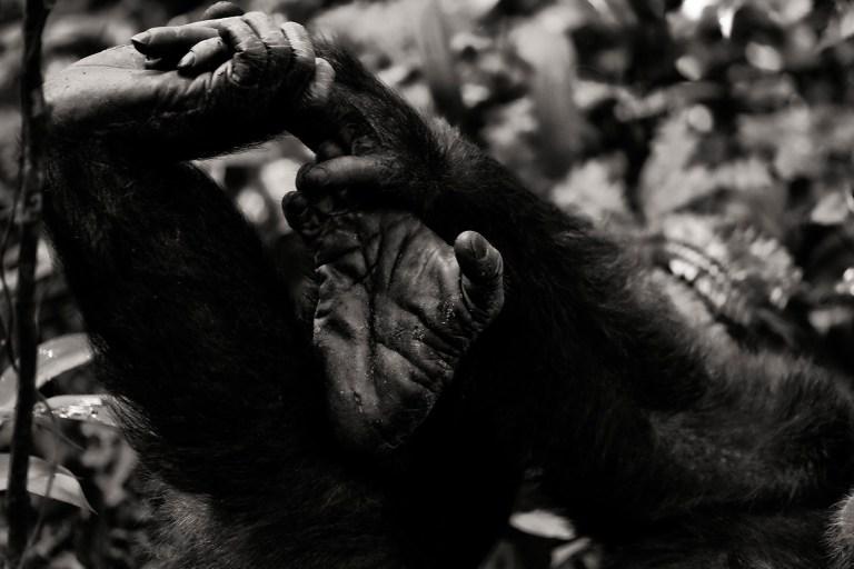 chimpanzee-wild-rainforest-9