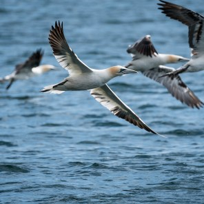 Photographing the Gannets of Bass Rock in flight. A good test of the AF capabilities of the X-T2 and 100-400mm lens