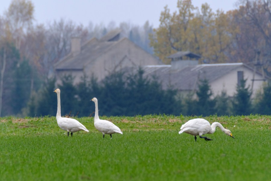 ben-cherry-flight-of-the-swans-baltics-2