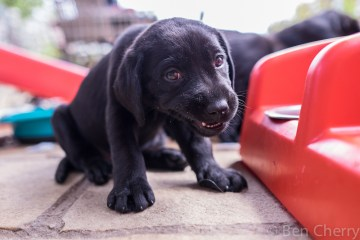 Labrador puppies-5