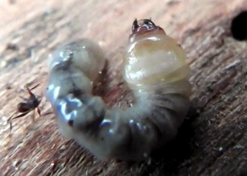榾木のカミキリムシ幼虫による被害