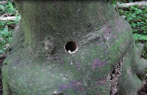ゴマダラカミキリの穴