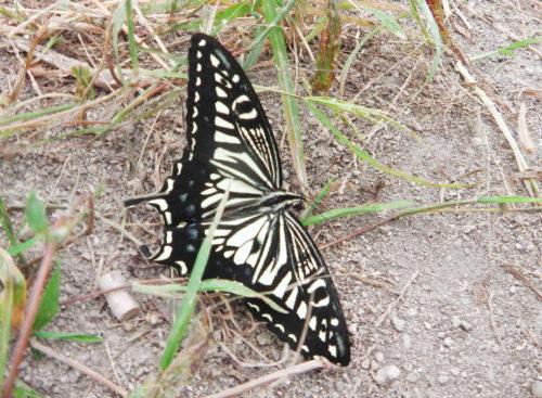 アゲハチョウの仲間で代表的な種類