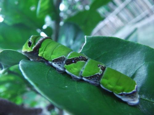 ミカンの葉を食害しているアゲハ幼虫