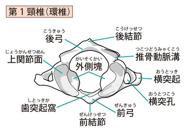 東大阪市の上部頸椎カイロプラクティック 第一頚椎