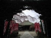 明星院の桜 イヌマキの門