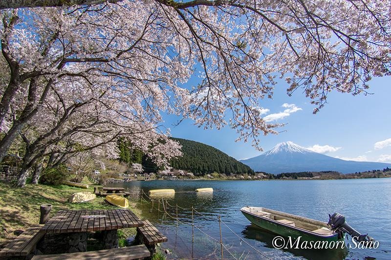 田貫湖の桜と富士山