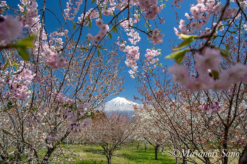 花と富士山 富士山さくらの園