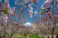富士山さくらの園