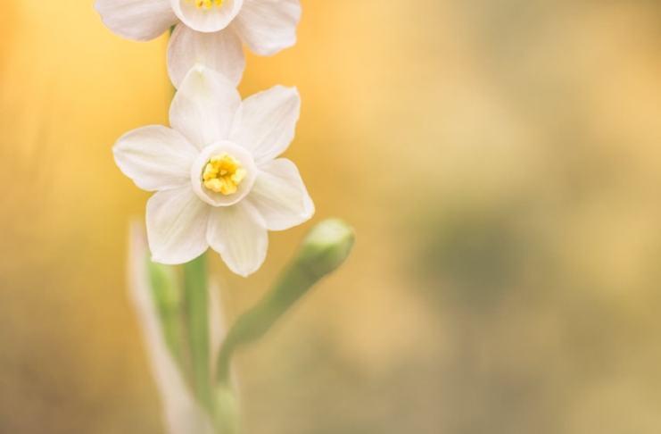"""Narcissus Tortifolius"" por Diego Garre. Fujifilm X-T10 + Lester A Dine 105mm f/2.8 Macro."
