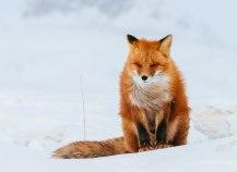 fox-photography-russian-miner-ivan-kislov-chukotka-9