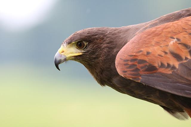 鋭い鷹の目