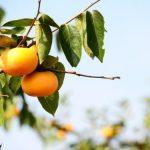 柿の保存方法。冷凍保存できる?シロップ漬けとジャムの保存食レシピ