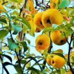 かりんの果実の食べ方!コンポートの保存食レシピとジャムの作り方