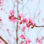 ひな祭りに桃の花を飾る意味は?上手に咲かせる生け方と飾り方のコツ