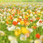 花摘みができる千葉のおすすめスポット3選と房総で楽しめる花の種類
